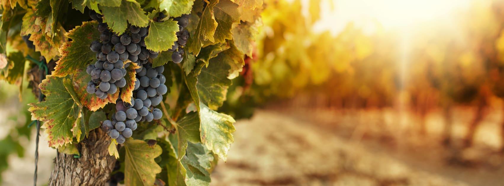 wijnstok met druiven