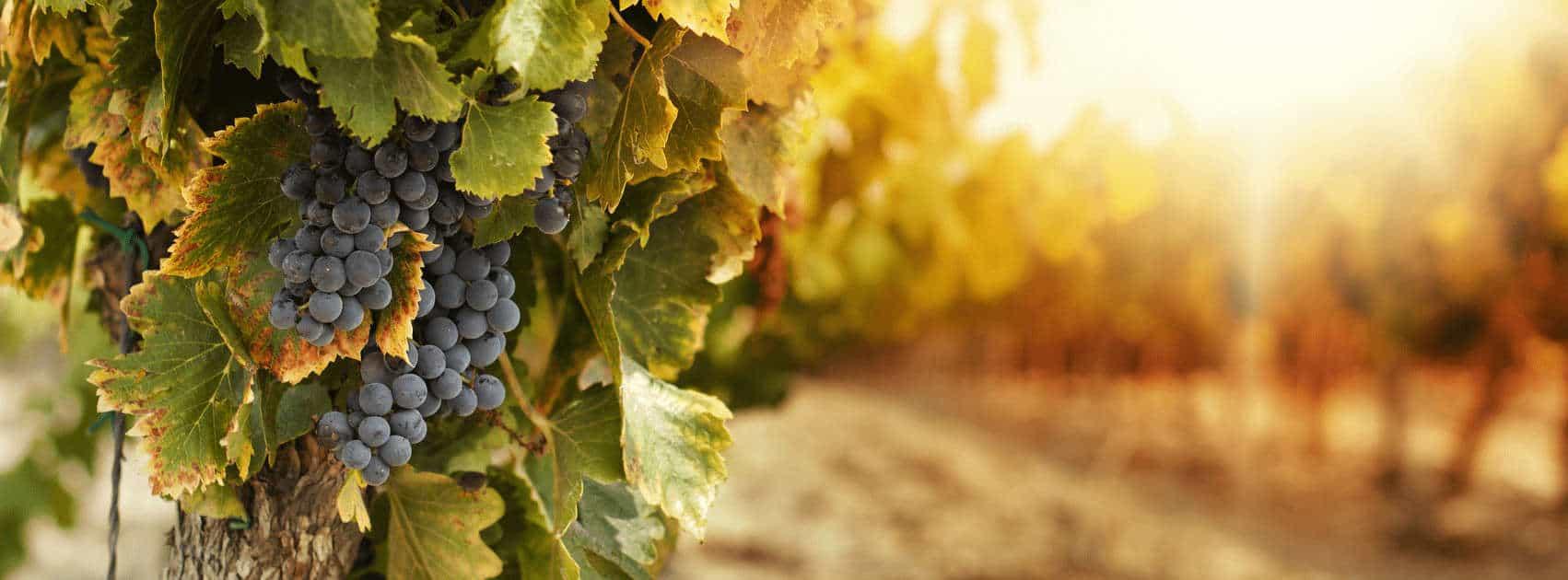 vigne avec raisins