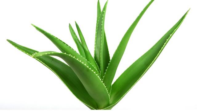 Aloë Vera plant